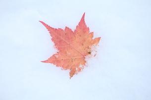 雪の中のモミジの赤い葉の写真素材 [FYI00155652]