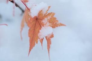 雪の中のモミジの赤い葉の写真素材 [FYI00155653]