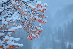 柿の木と初雪の写真素材 [FYI00155654]