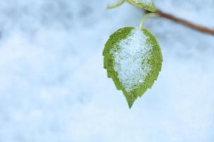 雪の中の青葉の写真素材 [FYI00155656]