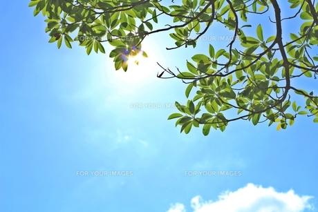 眩しい木漏れ日と青い空の素材 [FYI00156170]