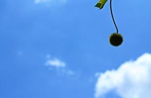 青空にプラタナスの実、ひとつの写真素材 [FYI00156201]