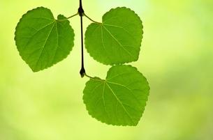 ハート形の葉っぱが三つの写真素材 [FYI00156211]