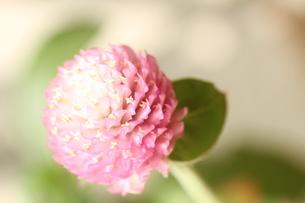 千日紅 ピンクの写真素材 [FYI00156288]