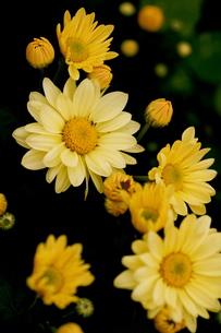 菊の写真素材 [FYI00156290]
