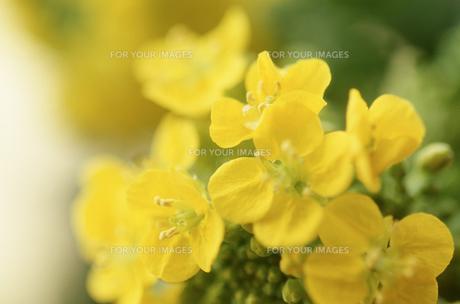 菜の花の素材 [FYI00156439]