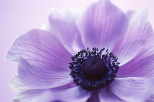 紫の花の素材 [FYI00156460]