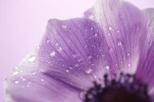 紫の花の素材 [FYI00156461]