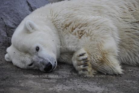 白熊、怒る。の写真素材 [FYI00156561]
