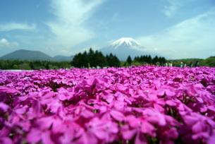 シバザクラと富士の写真素材 [FYI00156583]