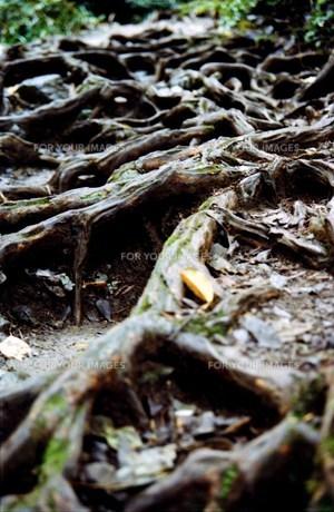 木の根の写真素材 [FYI00156593]