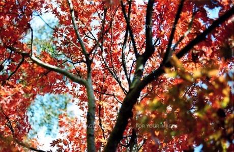 高尾山 紅葉の写真素材 [FYI00156596]