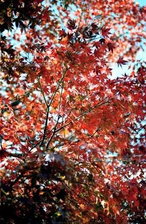 紅葉 高尾山の写真素材 [FYI00156603]
