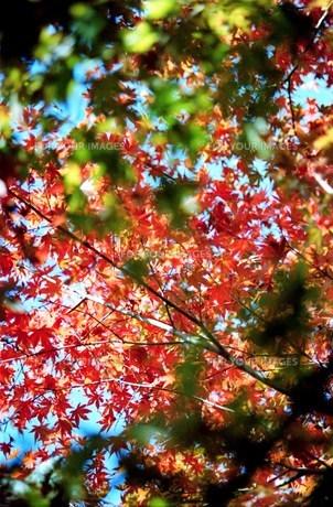 紅葉 深まる秋の写真素材 [FYI00156608]