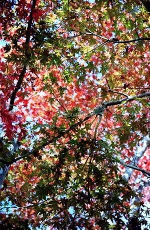 高尾山 深まる秋の写真素材 [FYI00156613]