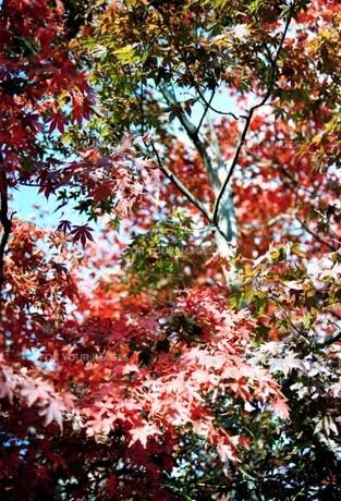 紅葉 高尾山の写真素材 [FYI00156615]