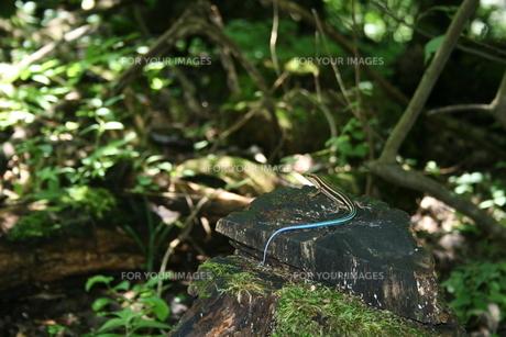 ニホントカゲの幼体の写真素材 [FYI00156640]