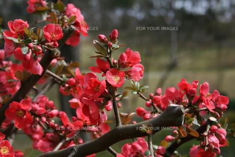 木瓜の花の素材 [FYI00156643]