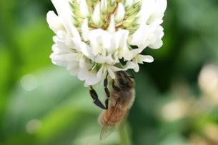 シロツメクサにとまるミツバチの写真素材 [FYI00156650]