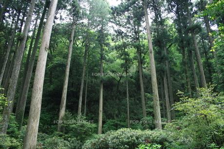 小雨の杉林の写真素材 [FYI00156653]