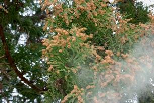 スギ花粉の写真素材 [FYI00156686]