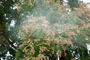 スギ花粉の写真素材 [FYI00156692]
