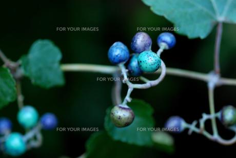 ノブドウ果実の写真素材 [FYI00156718]