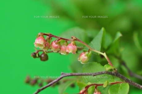 ナツハゼの花の写真素材 [FYI00156938]