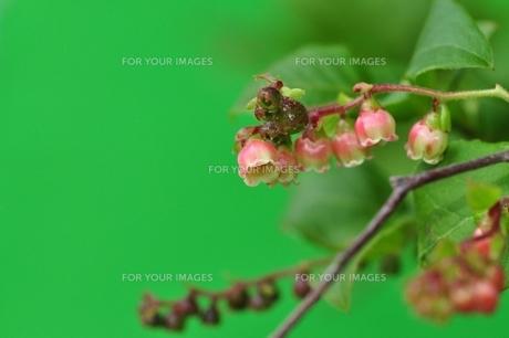 ナツハゼの花の写真素材 [FYI00156944]