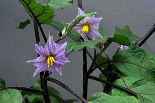 ナスの花の写真素材 [FYI00157015]