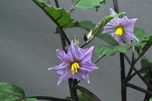 ナスの花の写真素材 [FYI00157026]