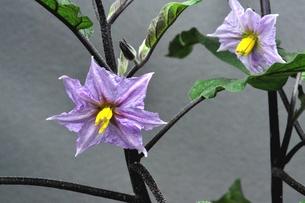 ナスの花の写真素材 [FYI00157031]