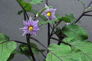 ナスの花の写真素材 [FYI00157032]