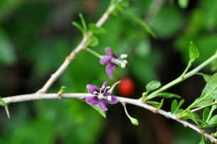 クコの花の写真素材 [FYI00157070]