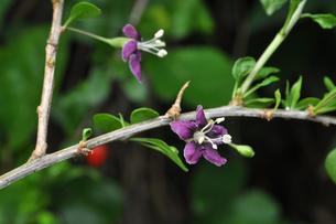 クコの花の写真素材 [FYI00157074]