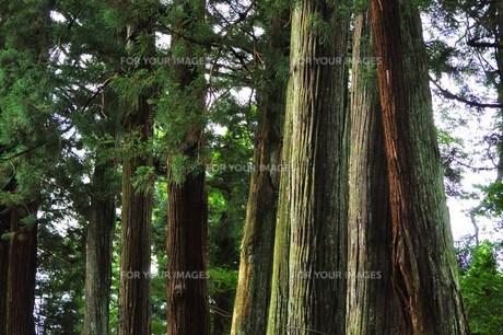 古道の大木の写真素材 [FYI00163684]