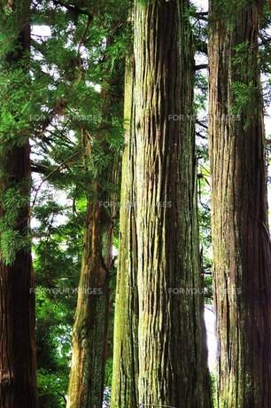 古道の大木の写真素材 [FYI00163687]