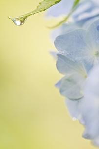 アジサイと水滴の写真素材 [FYI00163695]
