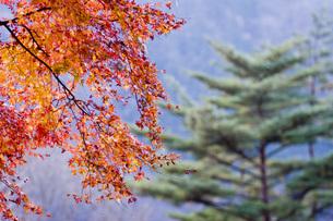 紅葉と松の写真素材 [FYI00163699]