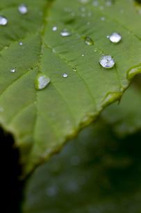 木の葉水滴の写真素材 [FYI00163701]