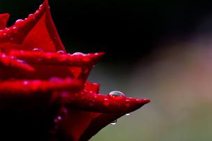 赤い薔薇の雫の写真素材 [FYI00163706]