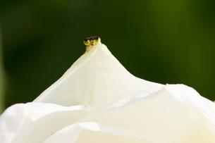 花びらから覗くイトトンボの写真素材 [FYI00163713]