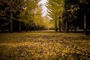 公園のイチョウ道の写真素材 [FYI00163714]