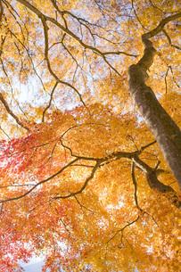 紅葉樹の写真素材 [FYI00163723]