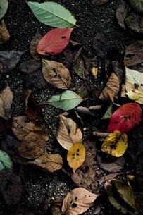 落ち葉の写真素材 [FYI00163732]