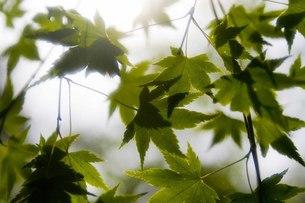 新緑の紅葉の写真素材 [FYI00163735]