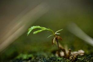 杉の発芽の写真素材 [FYI00163740]
