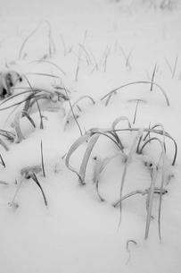 雪に埋もれる草の写真素材 [FYI00163741]