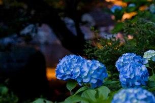 夕暮れのアジサイの写真素材 [FYI00163743]