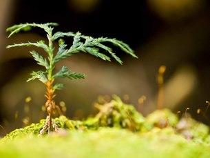 杉の発芽の写真素材 [FYI00163749]